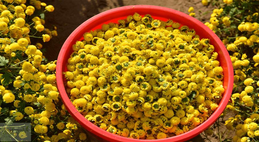 Cúc hoa sử dụng trong các bài thuốc trị cảm cúm